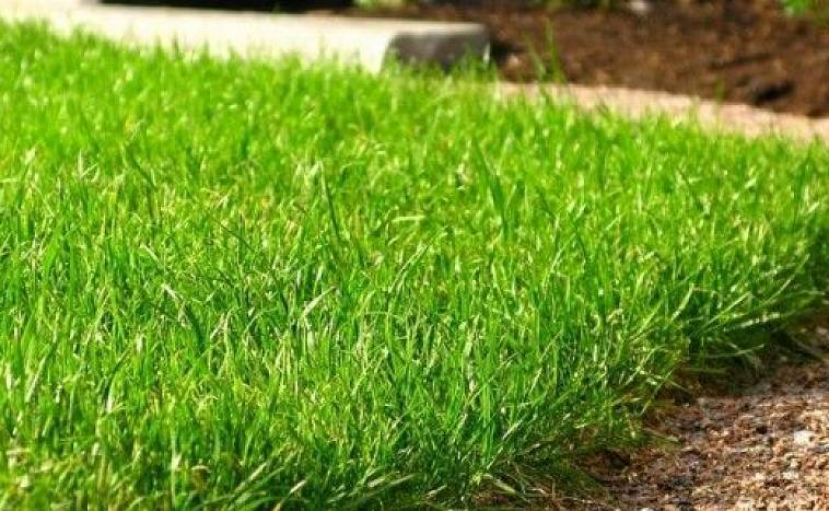 Оцените полезную информацию в статье на счет выбора газонной травы Вы узнаете какой вариант является лучшим и рекомендованым